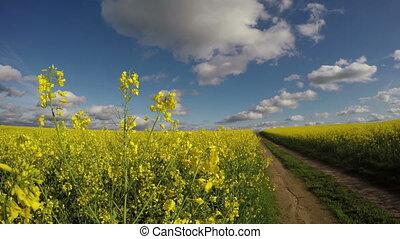 flowering rapeseed by road, 4K - Fields of yellow flowering...