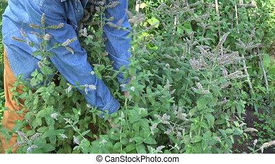 herbalist picking flower mint, 4K