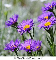 The Alpine Aster (Aster alpinus) . Decorative garden plant...