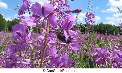 Fireweed flowers, sky, forest - Bee and bumblebee collect...