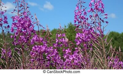 Blooming fireweed distinct addition to the colors of summer
