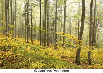 Beech forest in misty weather at the beginning of autumn