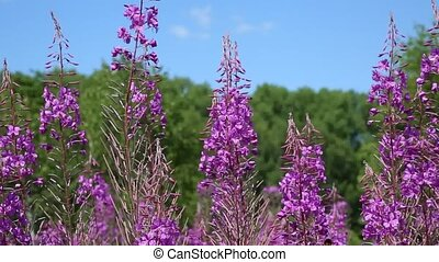 Fireweed honey plant and Bumblebee. - Bumblebee collect...