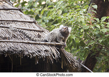 Common Marmoset - Close up Common Marmoset sitting on the...