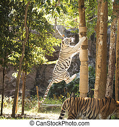 White tiger jumping - White tiger teke jumping to the tree