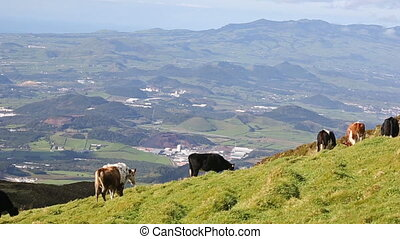 Green valley with cows and ocean