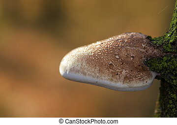 Birch bracket  - Piptoporus betulinus in a macro shot