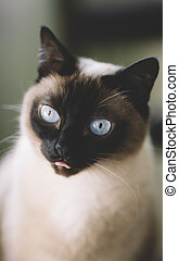 cat surprised - portrait of cat with blue eyes at...