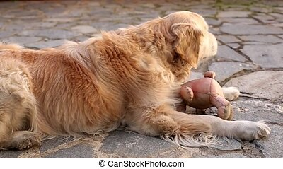 Golden Retriever playing outdoors - Golden Retriever dog...