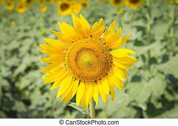 Sunflower field full bloom - Sunflower full bloom