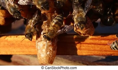 Bees Future and cocoons Queens Bees - Future Queen Bee...