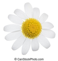 Daisy flower - Profile view of single beautiful white daisy...