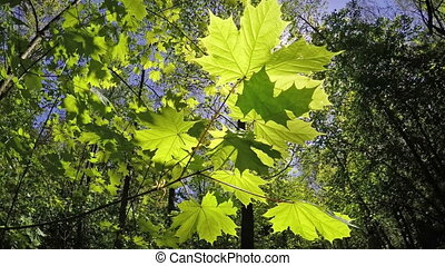The branch of a maple at a the wood background. Slow motion.