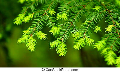 Eastern Hemlock (Tsuga canadensis) needles at Porcupine...