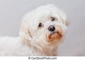 sweet maltese dog - portrait of a sweet white maltese dog...