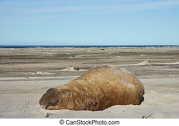 Male Elephant Seal - Male Southern Elephant Seal Mirounga...
