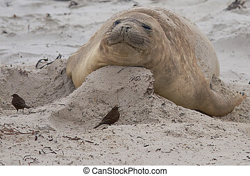 Female Elephant Seal - Female Southern Elephant Seal...