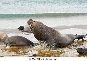 Male Elephant Seal - Male Southern Elephant Seal Mirounga...
