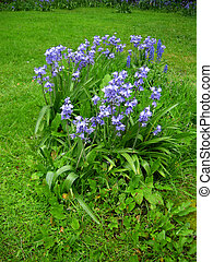 Bluebells Endymion non-scriptus - Blooming colourfully here...