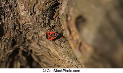 Firebug is Crawling on a Tree - single Firebug crawling on...