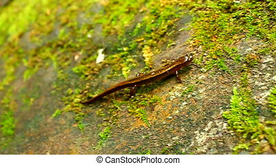 Southern Two-lined Salamander (Eurycea cirrigera) crawls...