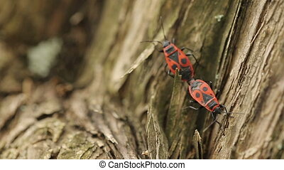 Firebugs Mating on a tree - two beetles mating on a tree
