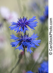 Cornflowers - blue cornflowers at a shallow depth of field