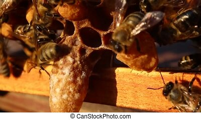Bees and cocoons Queens Bees