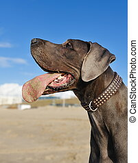 Portrait of a beautiful Great Dane