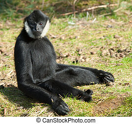 Male White-cheeked gibbon (Nomascus leucogenys) in a funny...