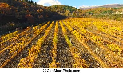AERIAL VIEW Flight Over Rows Of Vineyards At Fall Season -...
