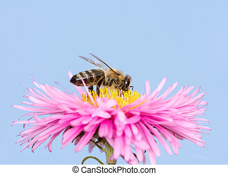 Bee on a pink aster flower - Macro of a bee on a pink aster...