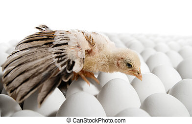 nestling - one nestling on many hen's-eggs, on white...