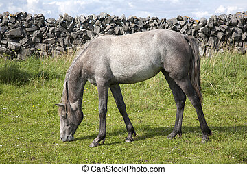 Grey Horse in Field on Inishmore, Aran Islands, Ireland