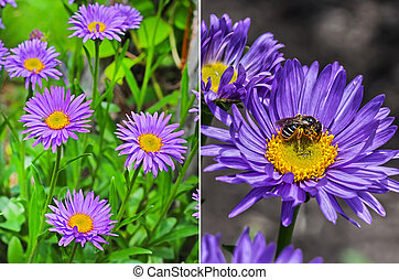 The Alpine Aster (Aster alpinus). Perennial rhizomatous herb...