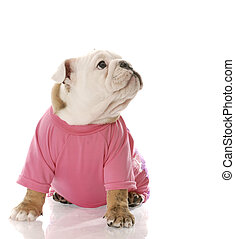 female puppy - english bulldog puppy wearing pink dog coat...
