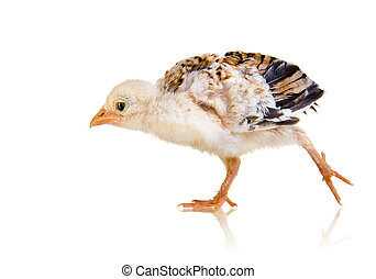 little chick on white background, isolated, spank