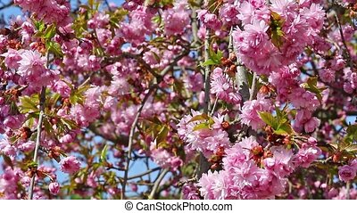 Blossming sakura tree - The branch of the sakura tree in the...