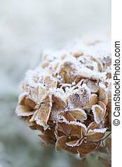 Dry hortensia close up in winter - Dry hortensia in the...