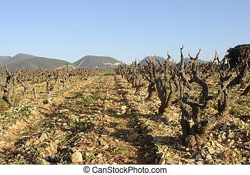 Vineyards in Drome provencal in France - Winter Vineyards of...