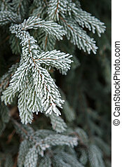 Winter frost on spruce christmas tree close-up