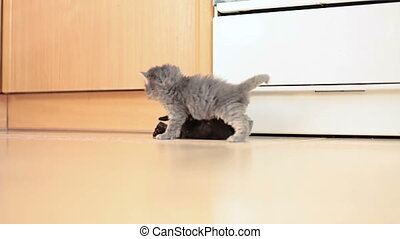 Little kittens playing - Grey and black kittens playing with...