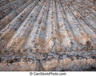 Burnt cultivated field with furrows, preparing next...