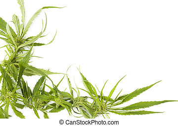 Cannabis background with copy space. Buds and leaves on...