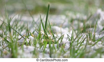 Green grass covered with snow - Green grass covered with...