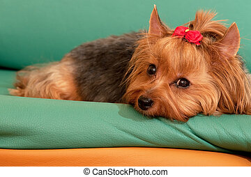Yorkie is dreaming about her sweetheart - A yorkshire...