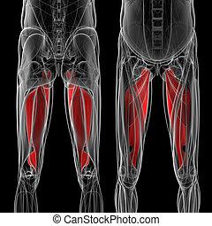 medical  illustration of the adductor magnus