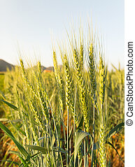 Wheat field in country side - Close up Wheat field in...