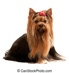 Portrait of a charming yorkshire terrier - A sitting...