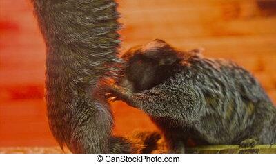 Little Monkey Seeking Fleas - Little decorative Monkey...